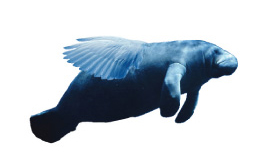 Flying-Manatee-logo4