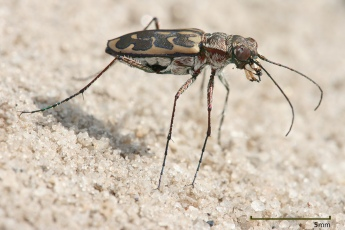 Lophyra_sp_Tiger_beetle_edit1.jpg